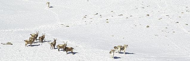 ibex & sheep